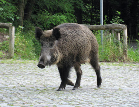 Wildtiere in Berlin: WIldschweine // HIMBEER