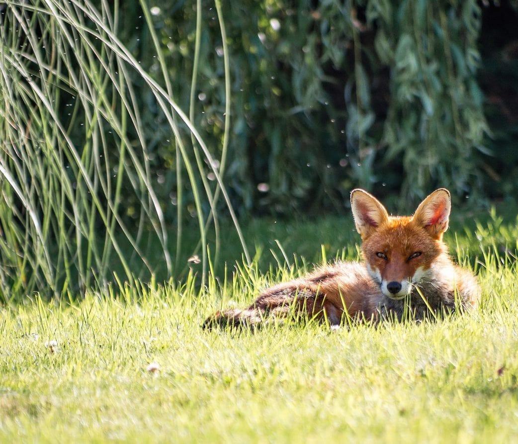 Wildtiere in Berlin: Fuchs im Garten // HIMBEER