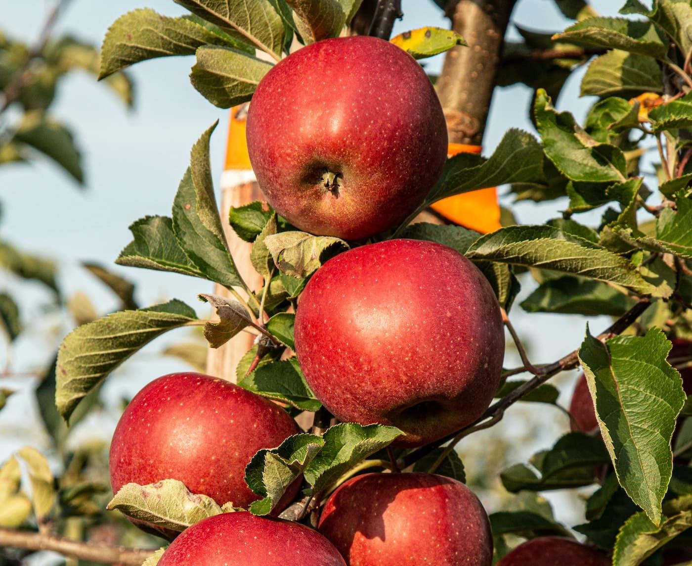 Äpfel ernten mit Kindern in Brandenburg // HIMBEER