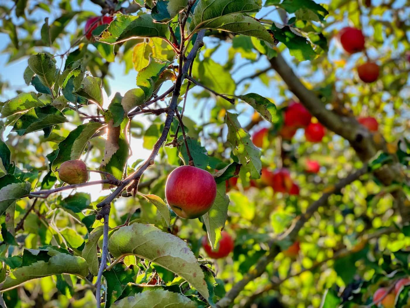 Apfelernte in der Herbstbauwoche für Kinder Ferienkurse in Berlin c Timotheus Fröbel //HIMBEER