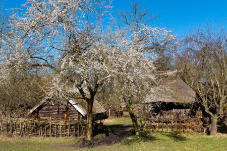 Der Kirschbaum blüht im Museumsdorf Düppel | BERLIN MIT KIND