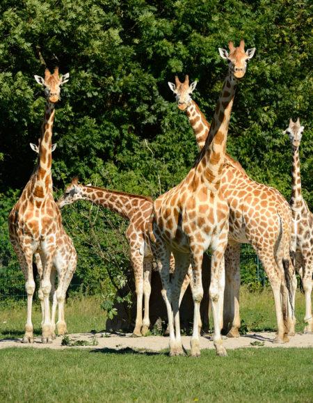 Giraffen im Tierpark Berlin | Berlin mit Kind