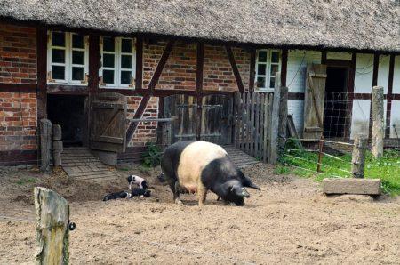 Schwein mit Ferkeln   München mit Kind