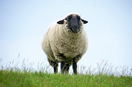 weißes Schaf mit schwarzem Kopf   München mit Kind