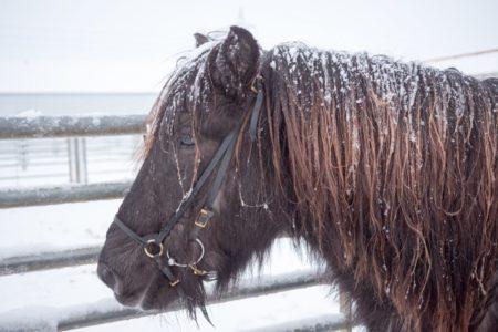 Islandpferd Schnee // HIMBEER