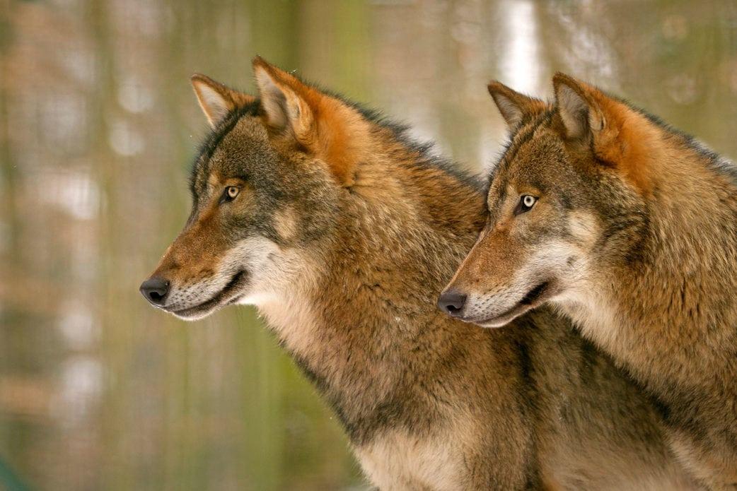 Ausflug nach Brandenburg mit Kindern: Wölfe im Tierpark Kunsterspring // HIMBEER