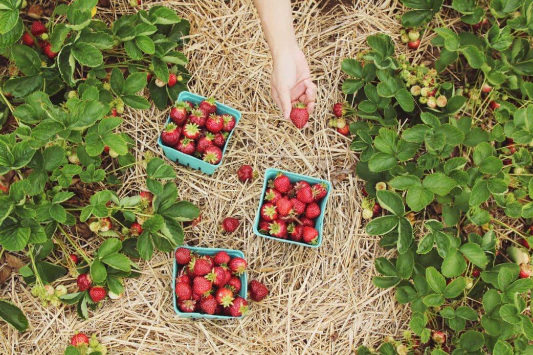 Erdbeeren selbst ernten in der Nähe von Berlin // HIMBEER
