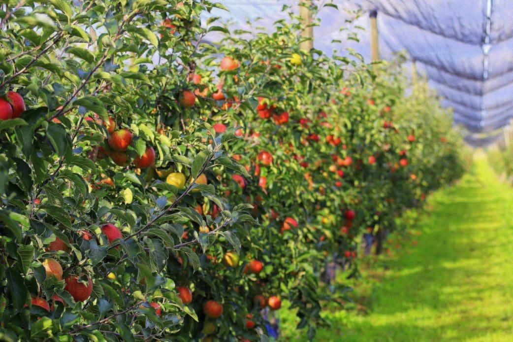 Obst zum Selberpflücken bei Pomona Gartenbau // HIMBEER