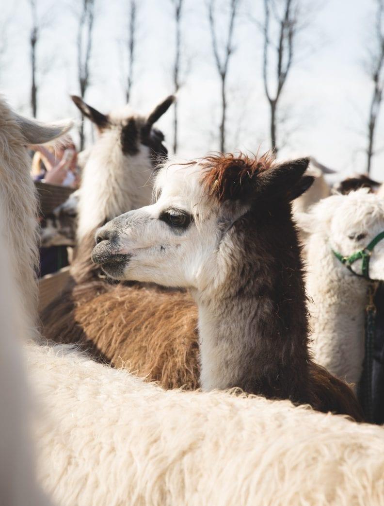 HIMBEER Titelstory: Kinder und ihr Haustierwunsch: Lamas und Alpakas // HIMBEER