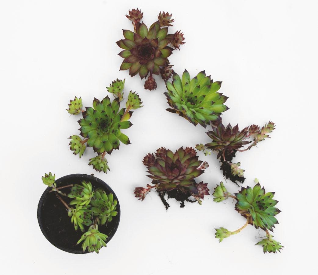 Succulent table wreath // RASPBERRY