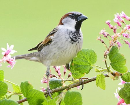 Stunde der Gartenvögel, Haussperling // HIMBEER