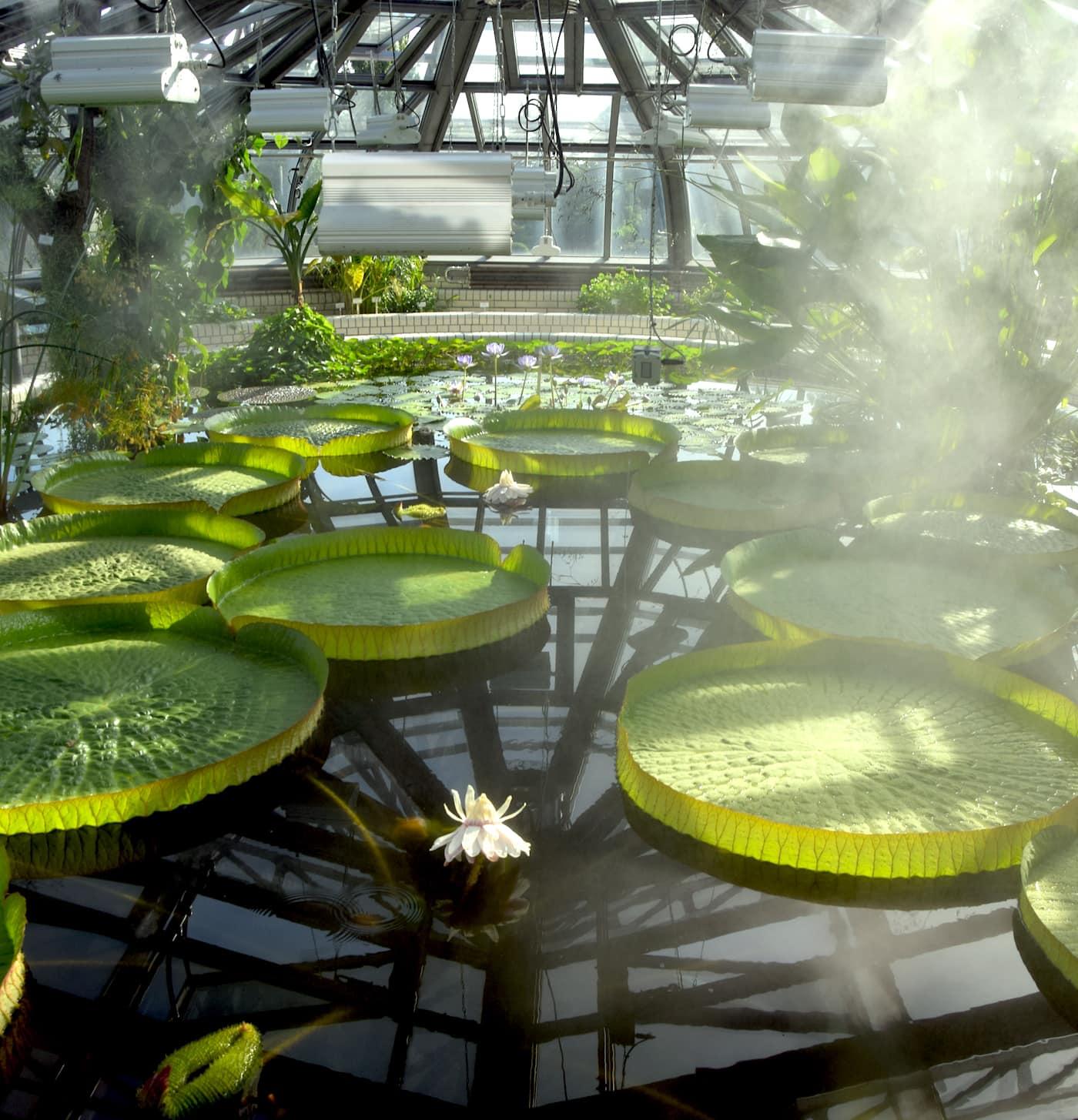 Riesenseerose im Botanischen Garten Berlin // HIMBEER