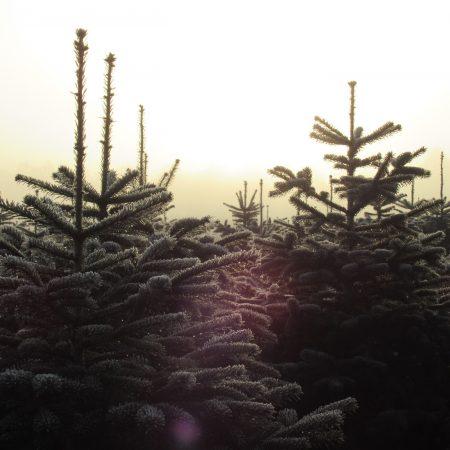 Tannenbäume bei Sonnenuntergang // HIMBEER
