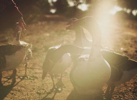 Gänse – Farmleben an der Algarve // HIMBEER