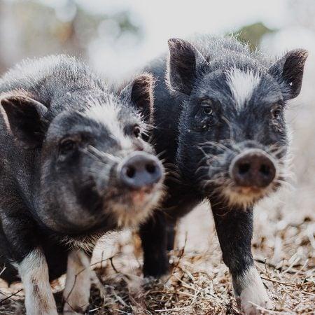 Schweine – Farmleben an der Algarve // HIMBEER
