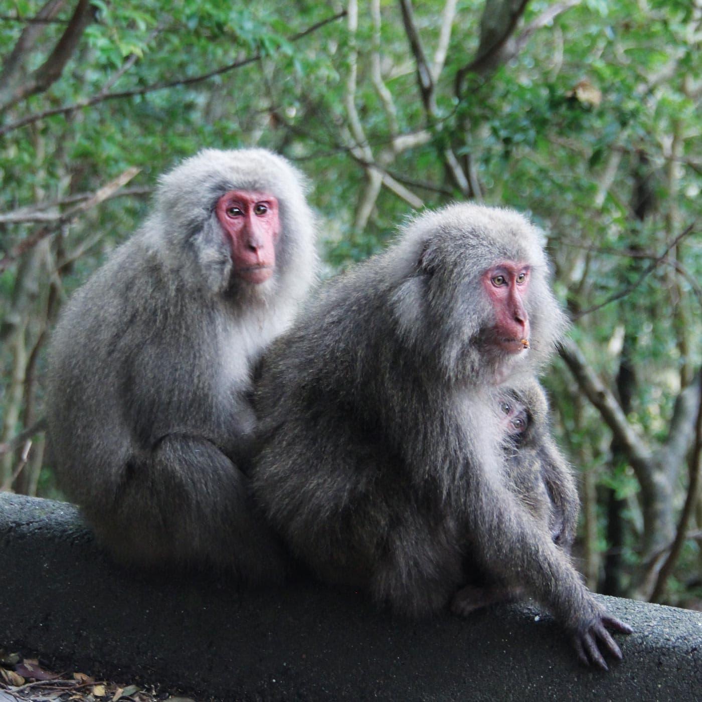 Affenfamilie auf Yakushima // HIMBEER