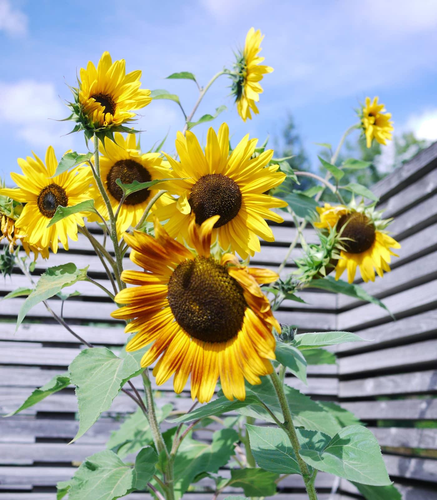 Sonnenblumen und weitere Blumenpracht // HIMBEER