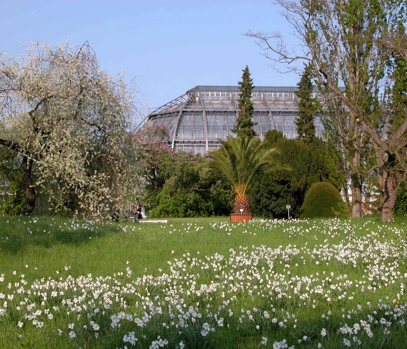 Botanischer Garten Berlin Dahlem im Frühling: Blick auf das Große Tropenhaus mit Dichternarzissen und Weichselkirsche // HIMBEER