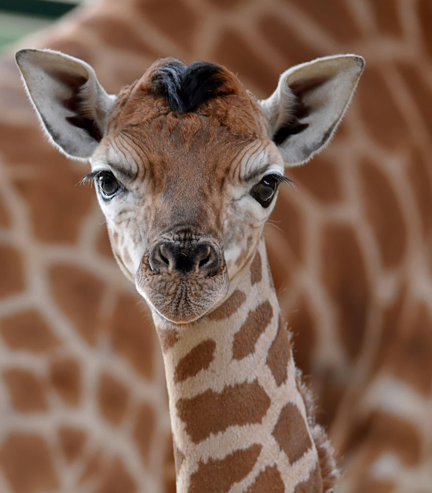 Rothschild-Giraffen-Nachwuch im Tierpark Berlin // HIMBEER