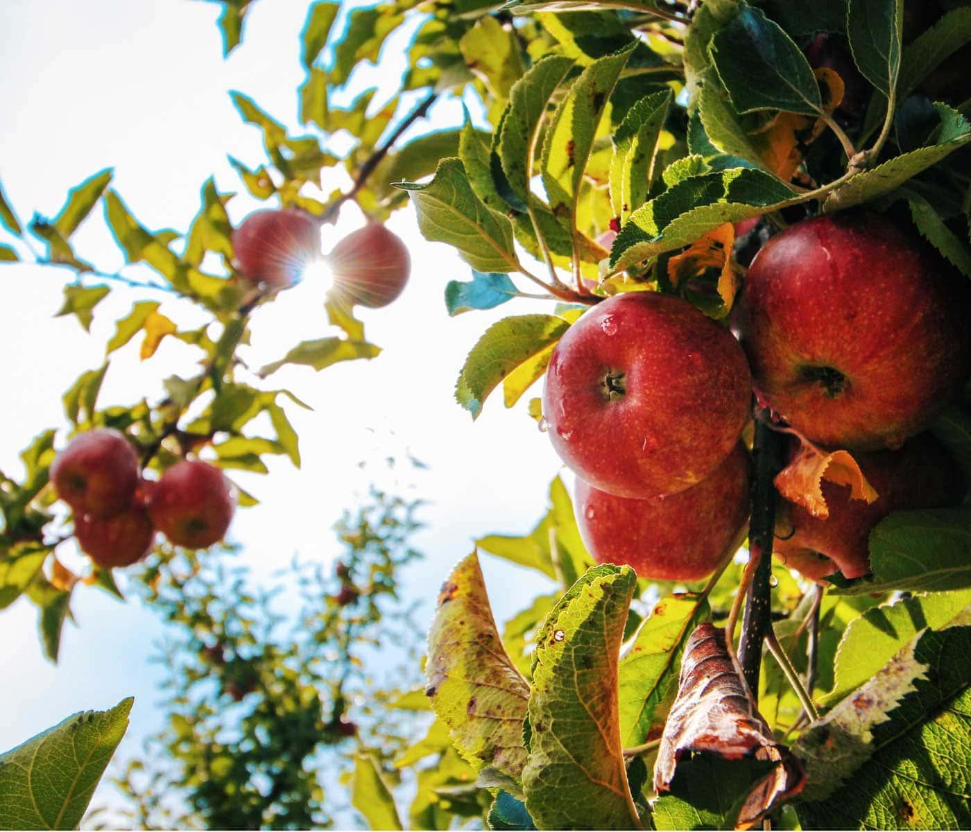 Ausflug mit Kindern: Zur Apfelernte in Brandenburg // HIMBEER