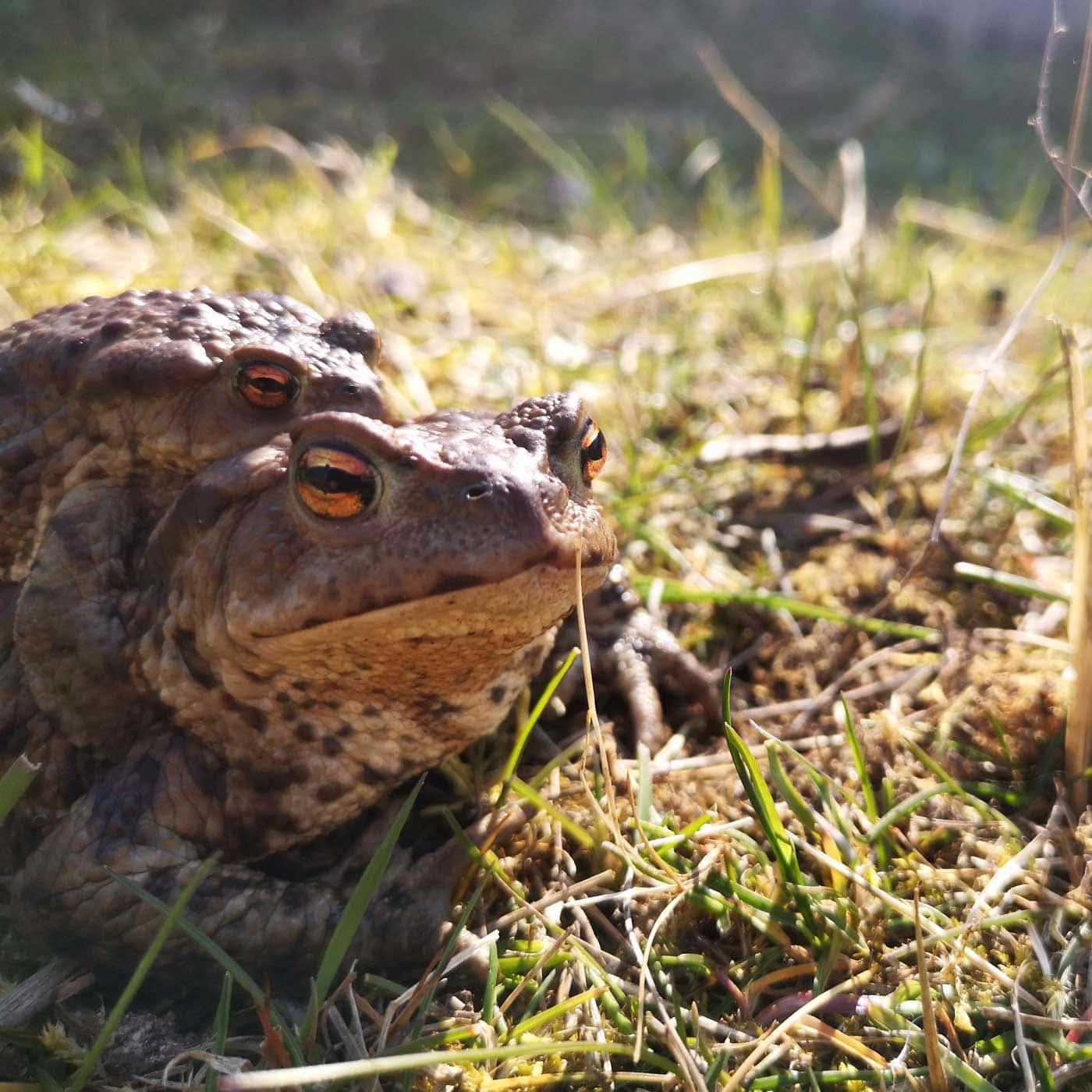 Ausflug zu Tieren aufs Land: Erdkröte // HIMBEER
