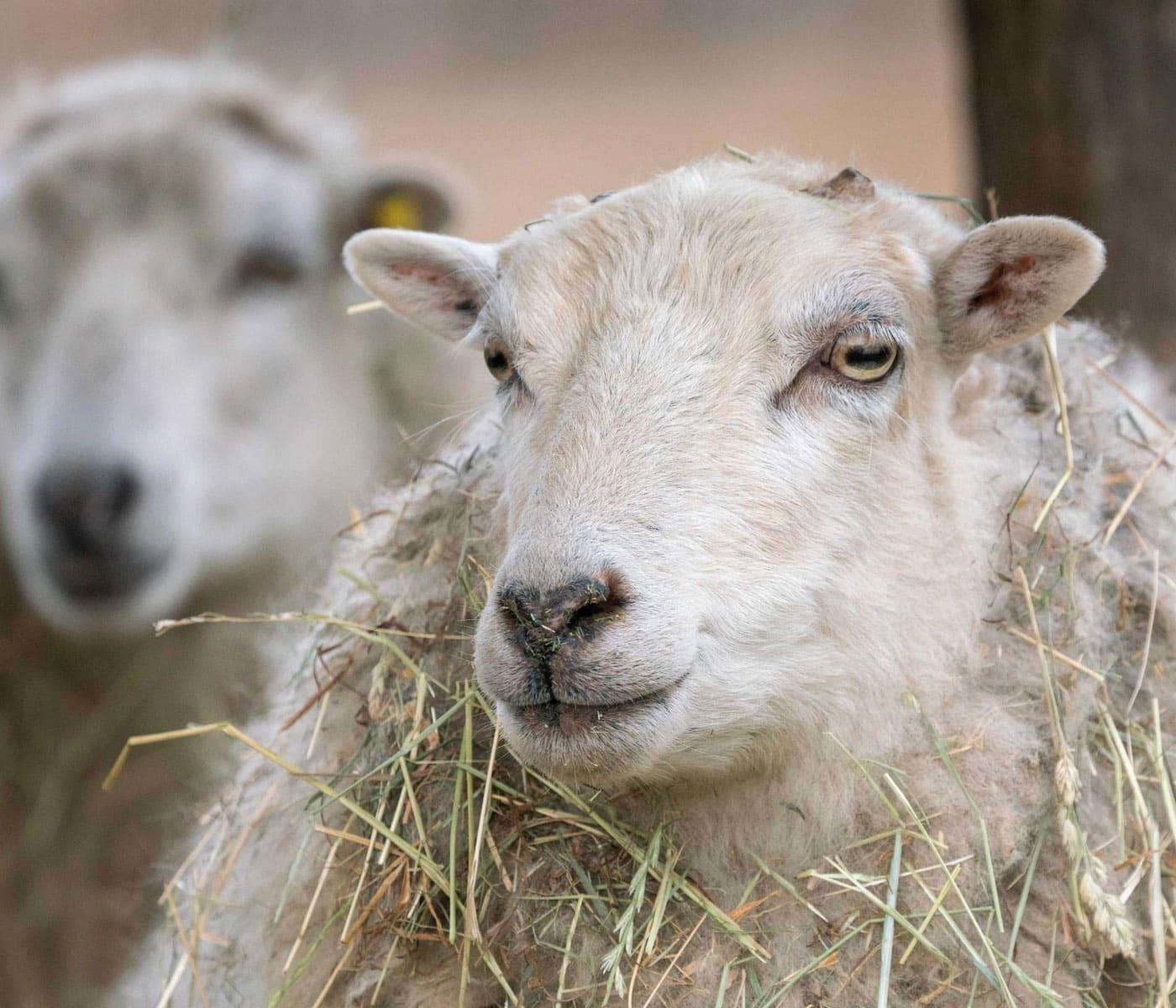 Ausflug zu Tieren aufs Land: Schafe // HIMBEER