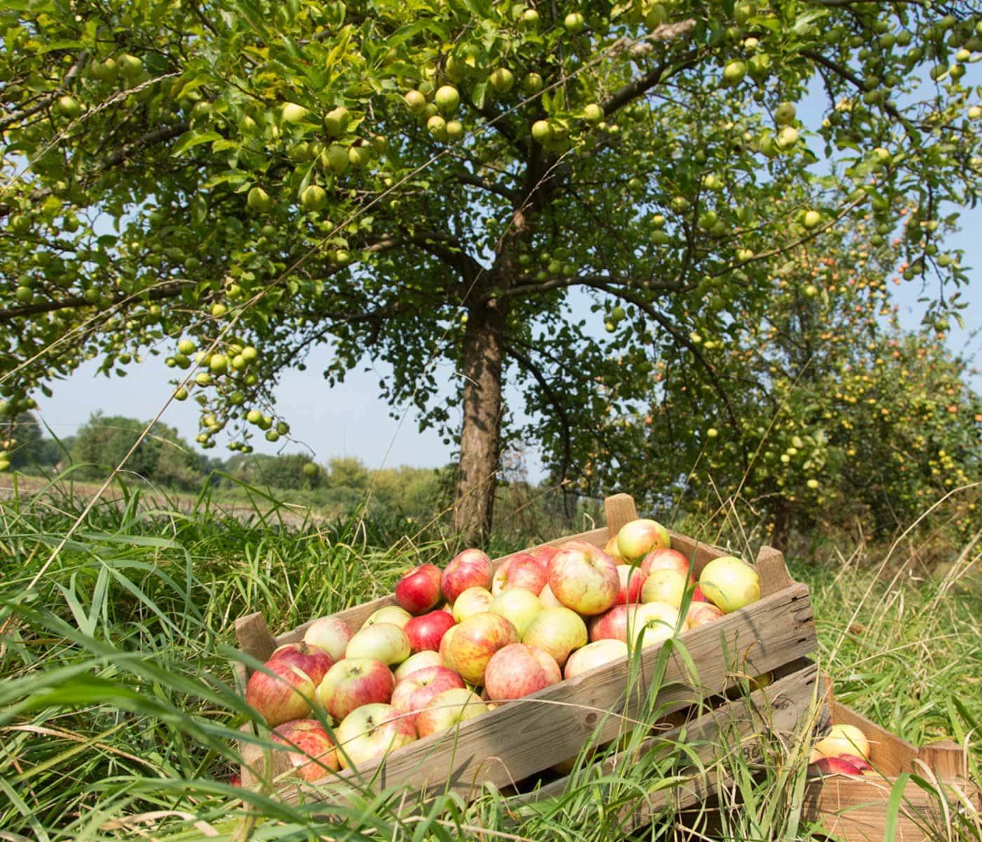 Streuobstwiesen in Brandenburg: heimische Apfelsorten // HIMBEER