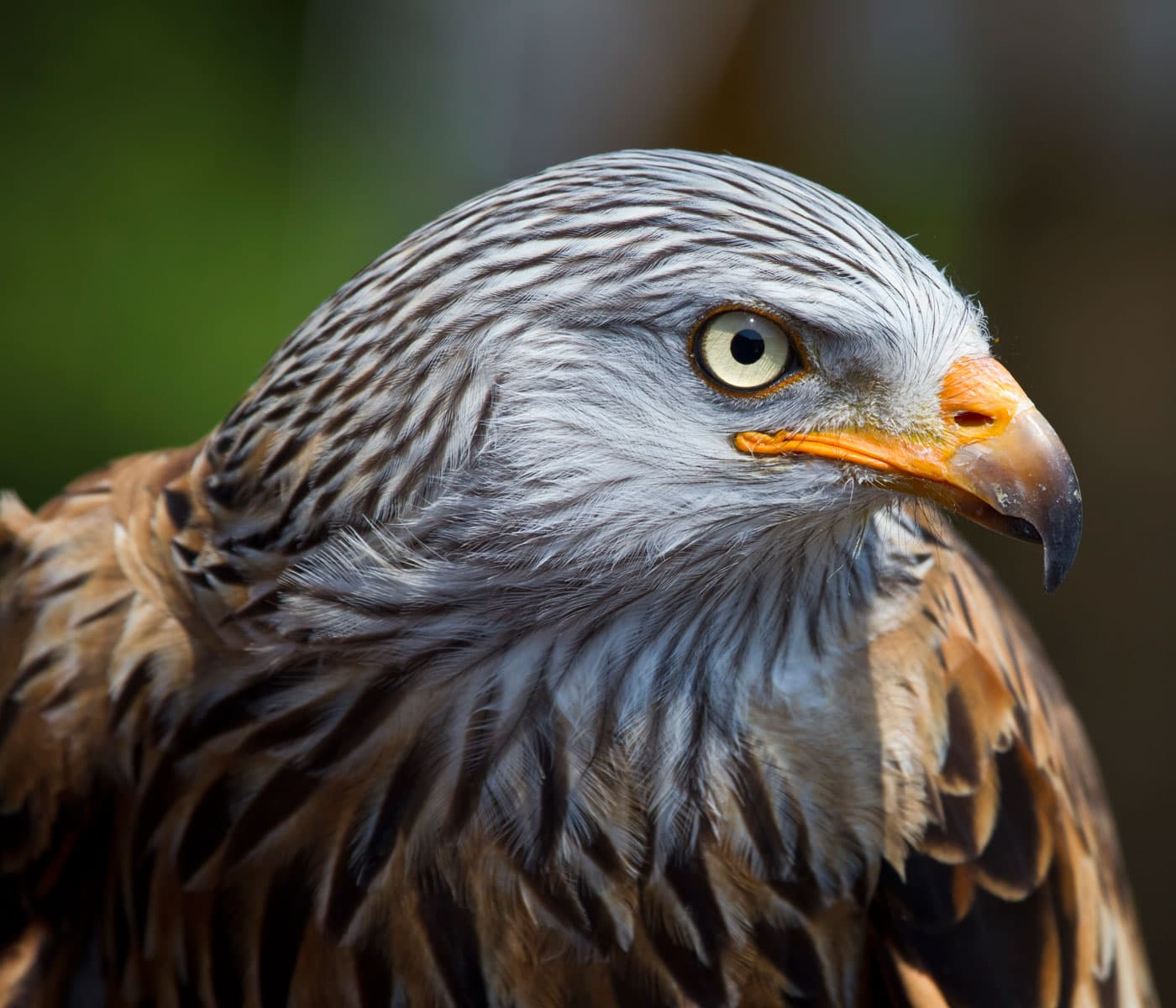 Wahl zum Vogel des Jahres 2021: Rotmilan // HIMBEER