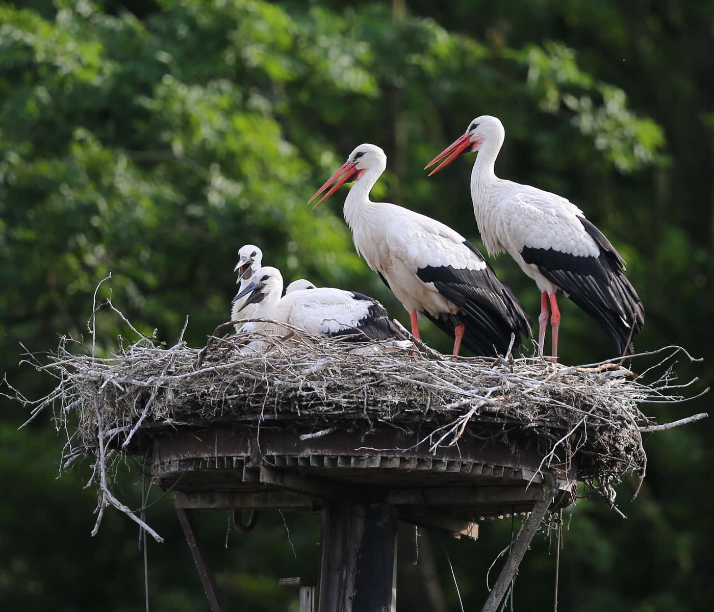 Wahl zum Vogel des Jahres 2021: Weißstorch // HIMBEER