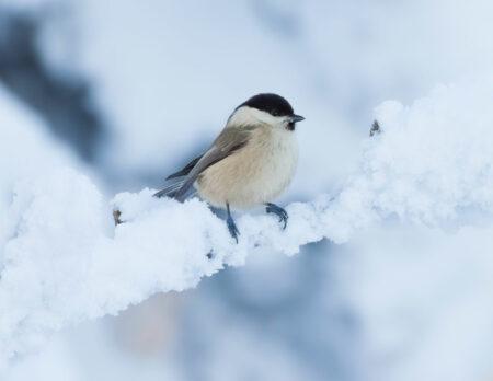 Stunde der Wintervögel 2021: Weidenmeise // HIMBEER