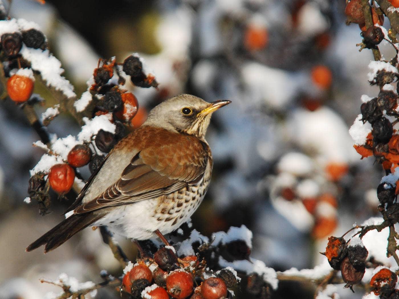Natur entdecken mit dem Freilandlabor: Wacholderdrossel // HIMBEER