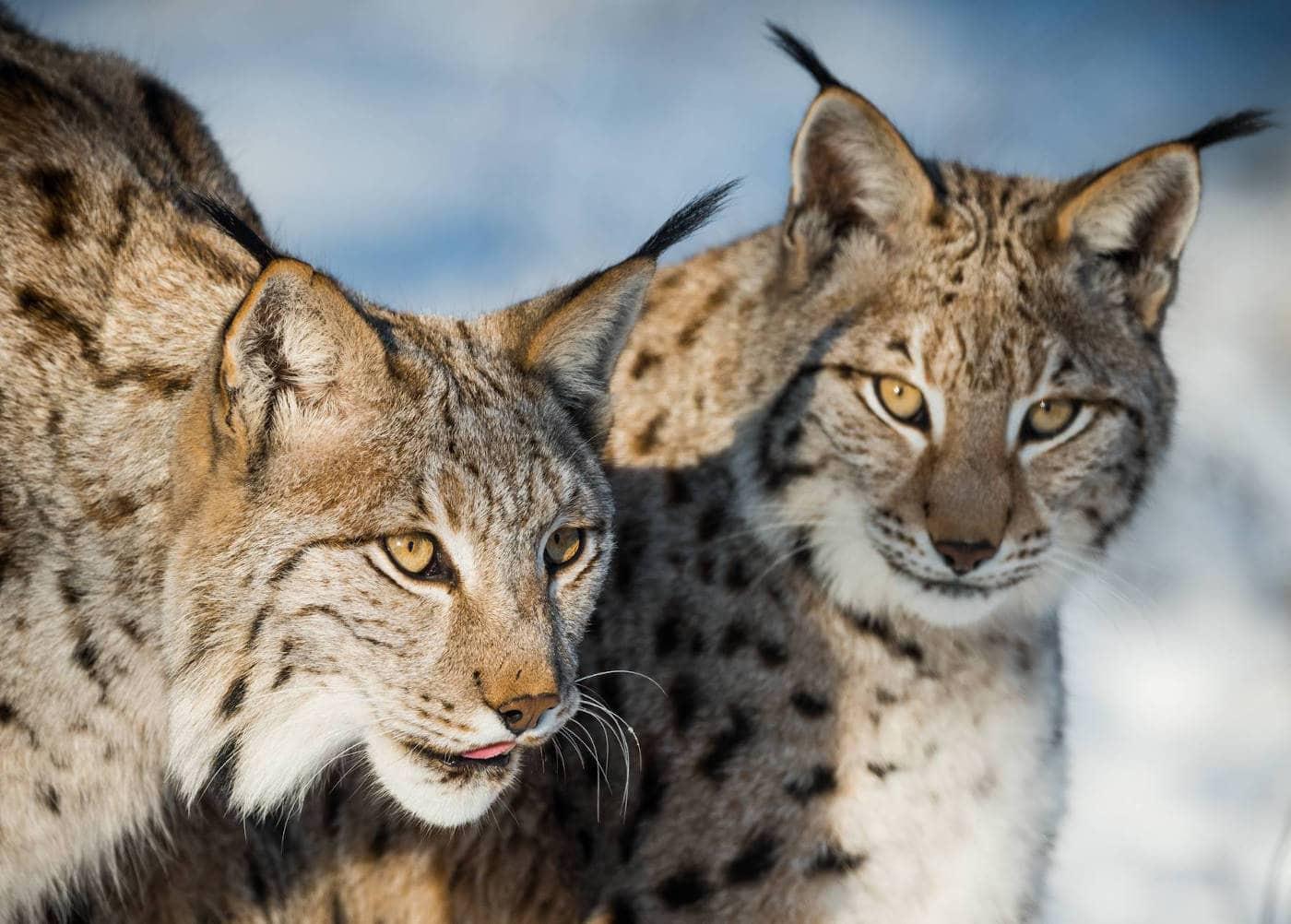 Top 10 Tierparks: Luchse im Wildpark Schorfheide // HIMBEER