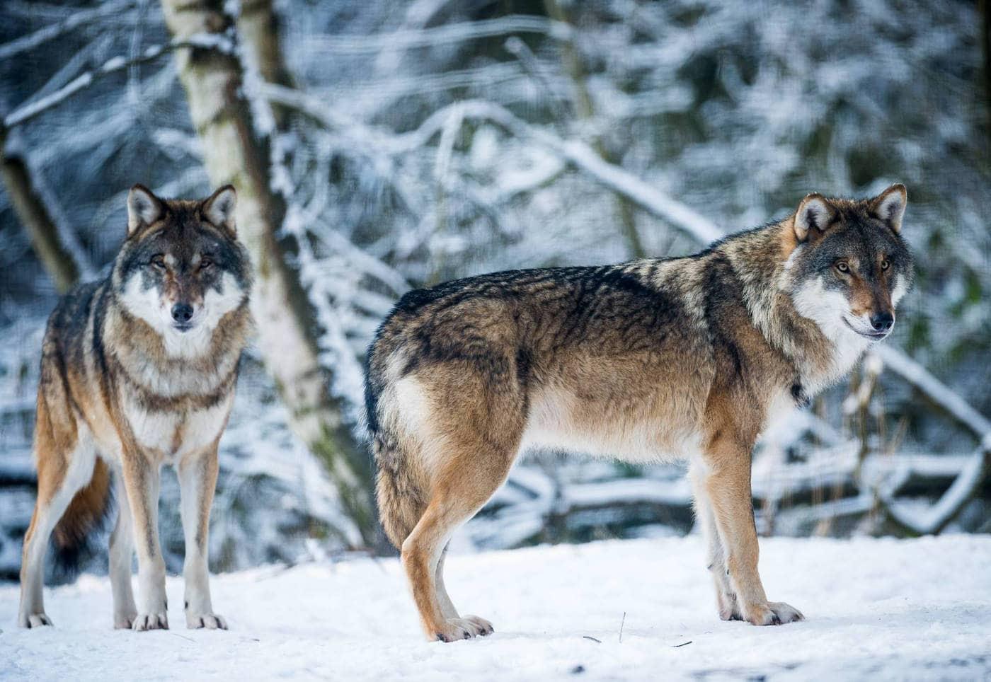 Top 10 Tierparks: Wölfe im Wildpark Schorfheide // HIMBEER