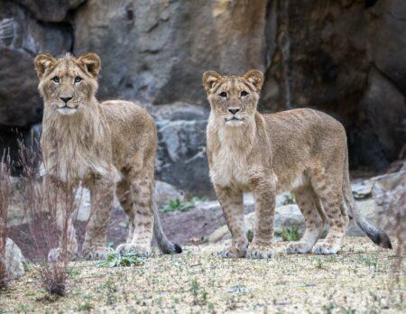 Afrikanische Löwen Mateo und Elsa im Zoo Berlin // HIMBEER