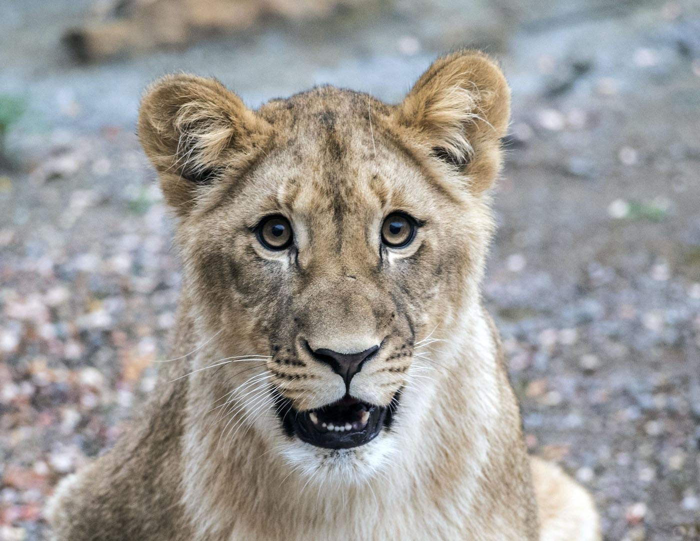 Afrikanische Löwin Hanna im Zoo Berlin // HIMBEER