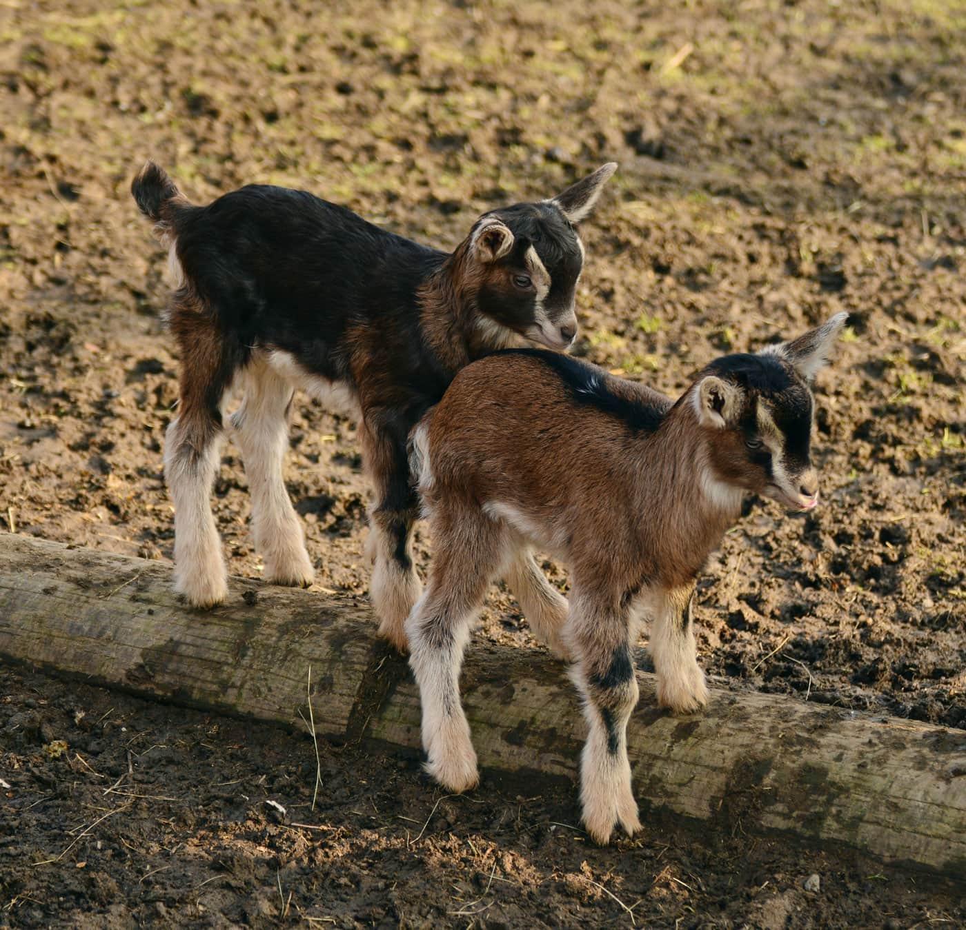 Tipps fürs Wochenende mit Kindern 12.-14.03.2021: Kleine Ziegen, Zicklein beim Familienausflug besuchen // HIMBEER