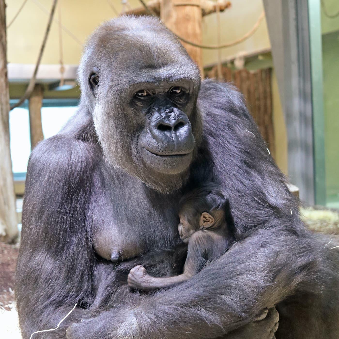 Gorilla-Dame Bibi mit ihrem Nachwuchs im Zoo Berlin // HIMBEER