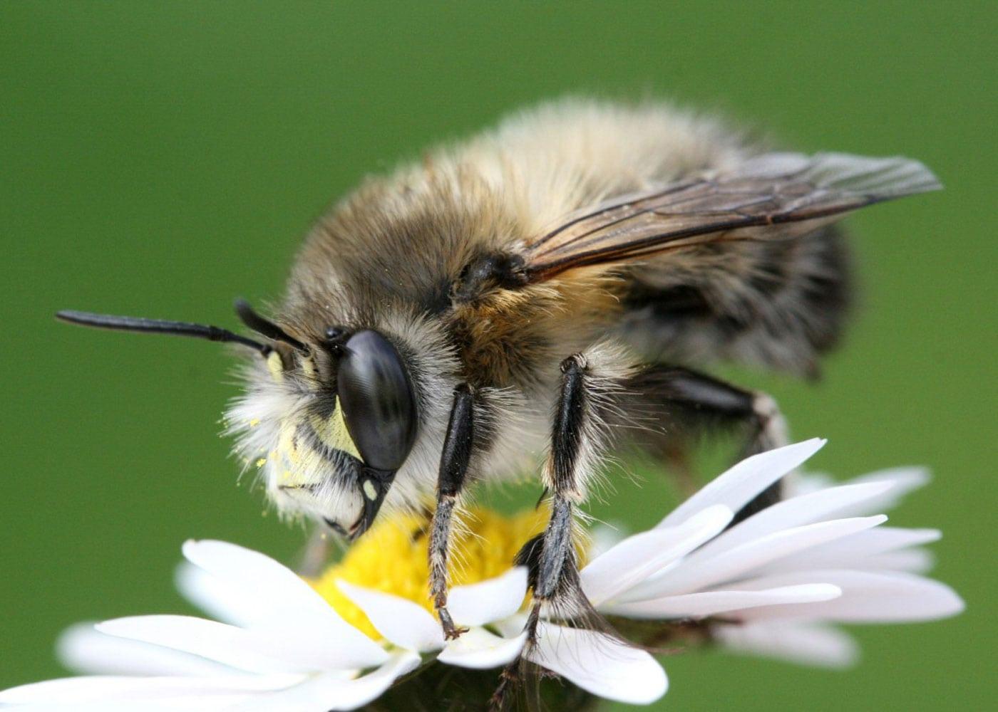 Bienenfreundliche Pflanzen und Flächen: gemeine Pelzbiene schützen // HIMBEER