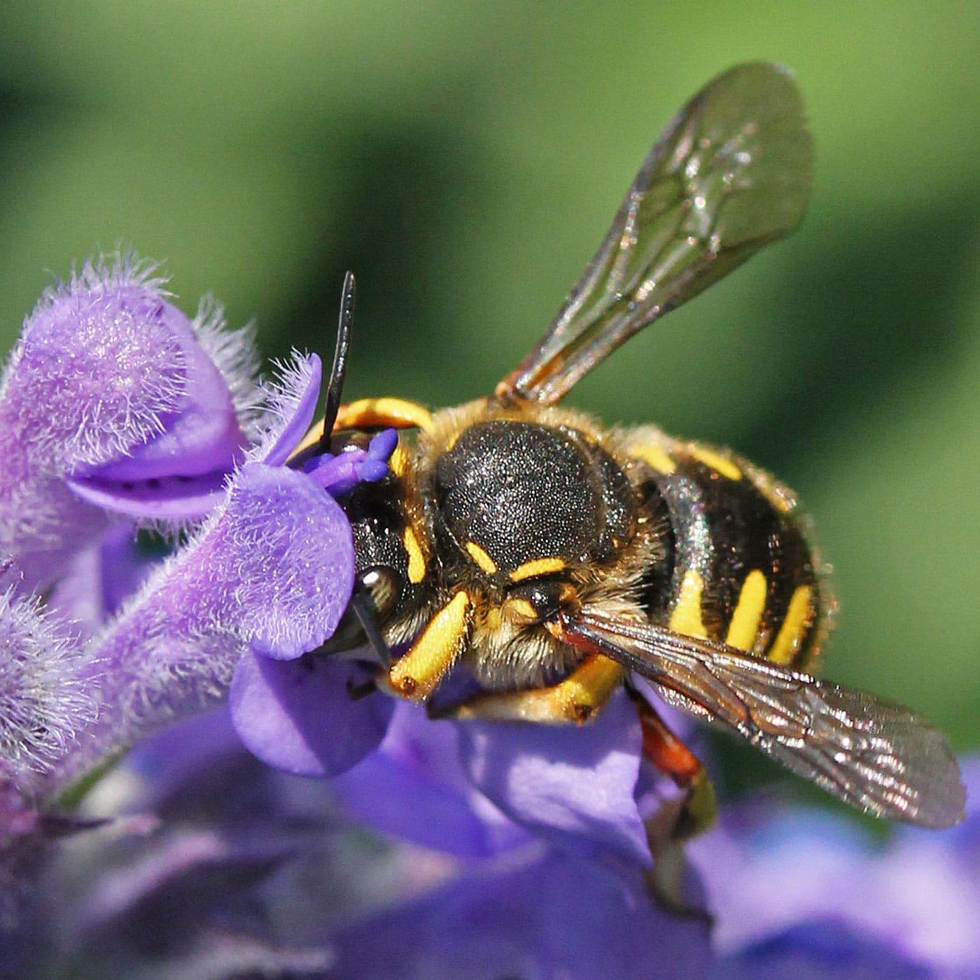 Bienenfreundliche Wollbiene schützen // HIMBEER