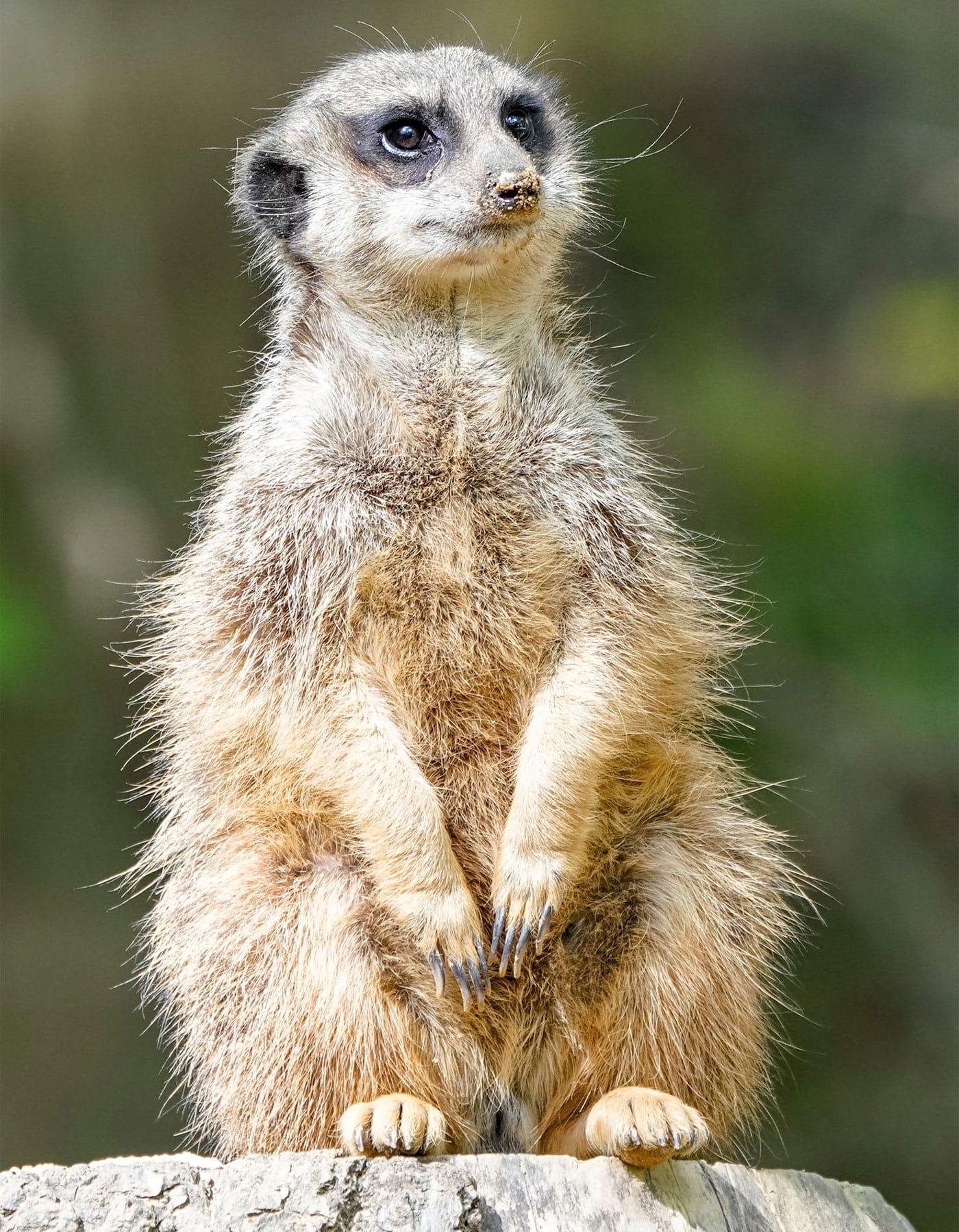 Reisen mit Kindern: Erdmännchen im Serengeti-Park Hodenhagen // HIMBEER