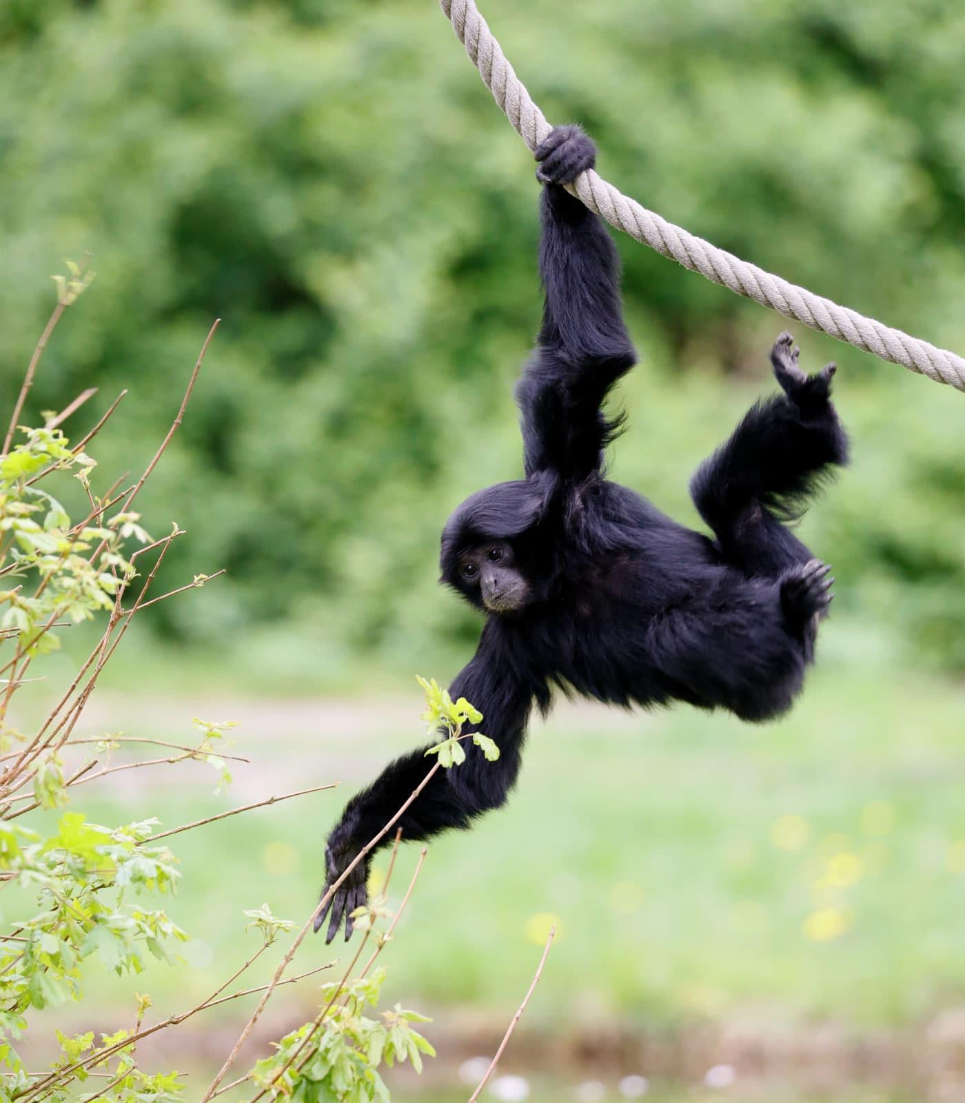 Reisen mit Kindern: Siamang im Serengeti-Park Hodenhagen // HIMBEER
