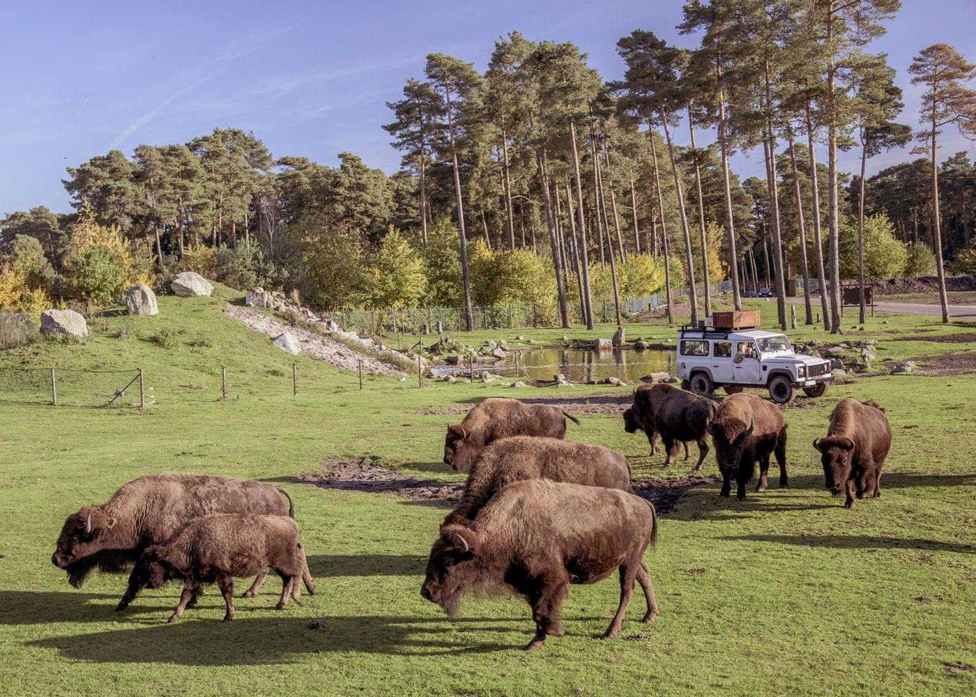 Reisen mit Kindern: Bisons bei Safari im Serengeti-Park Hodenhagen // HIMBEER