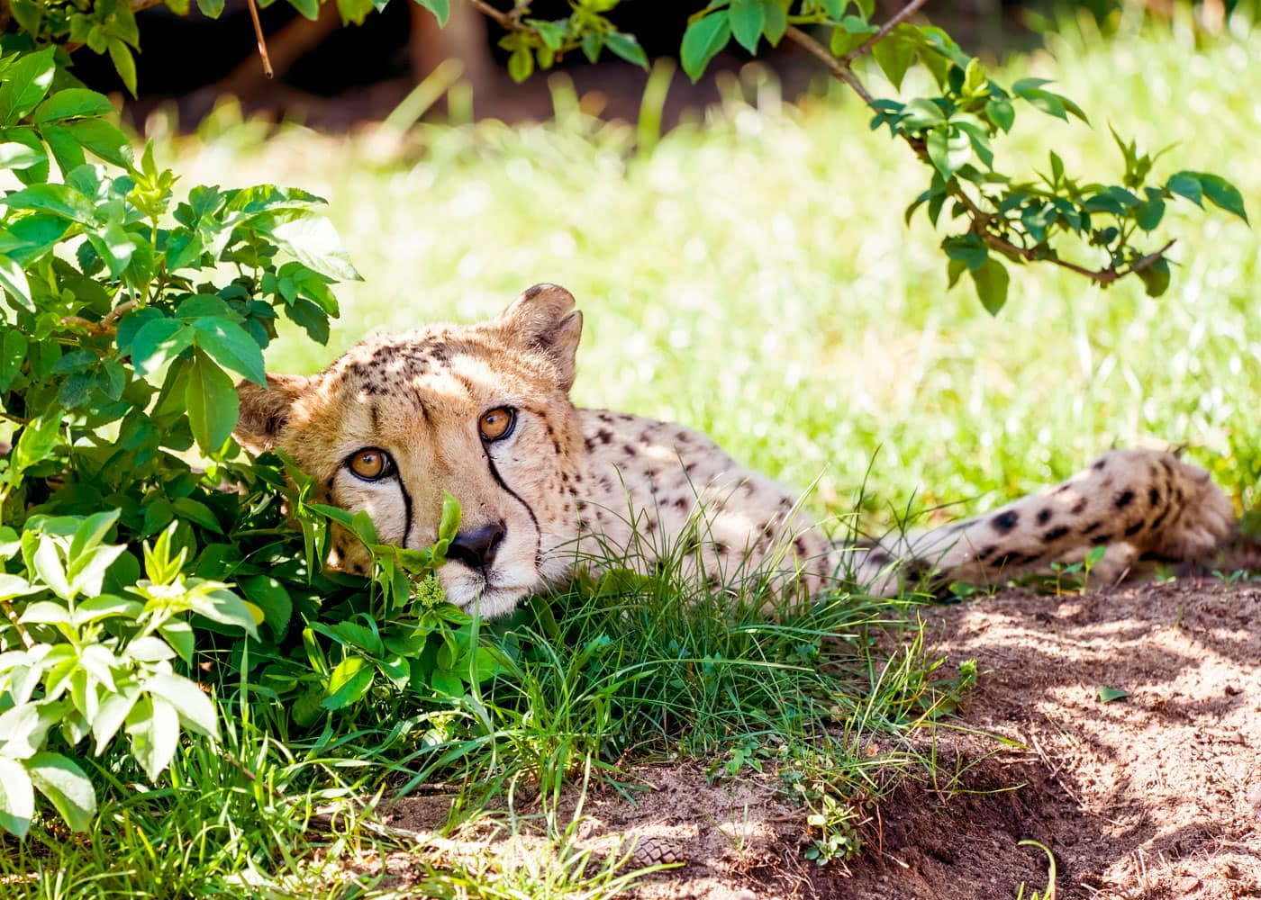 Reisen mit Kindern: Gepard im Serengeti-Park Hodenhagen // HIMBEER