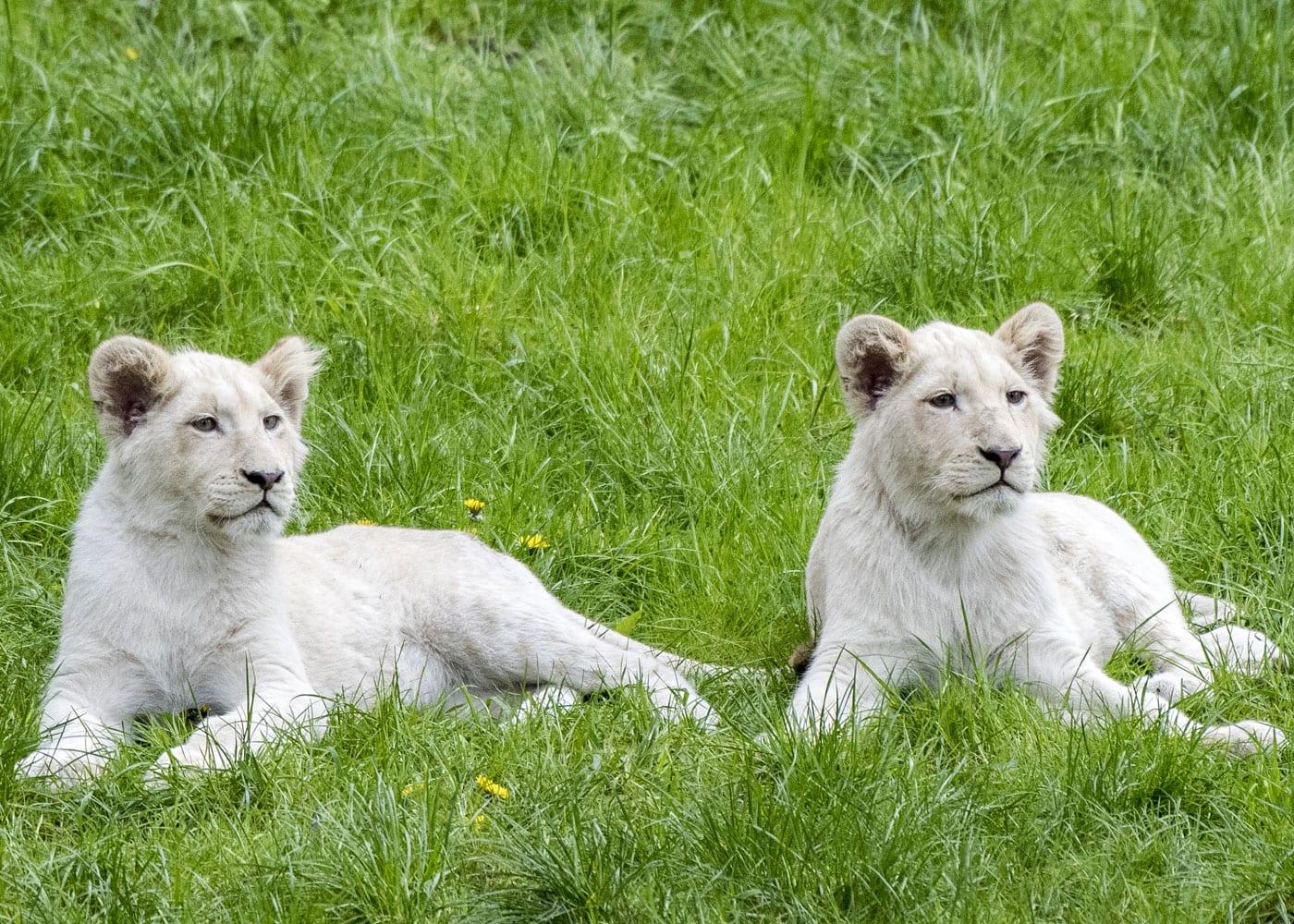 Reisen mit Kindern: Weiße Löwen im Serengeti-Park Hodenhagen // HIMBEER