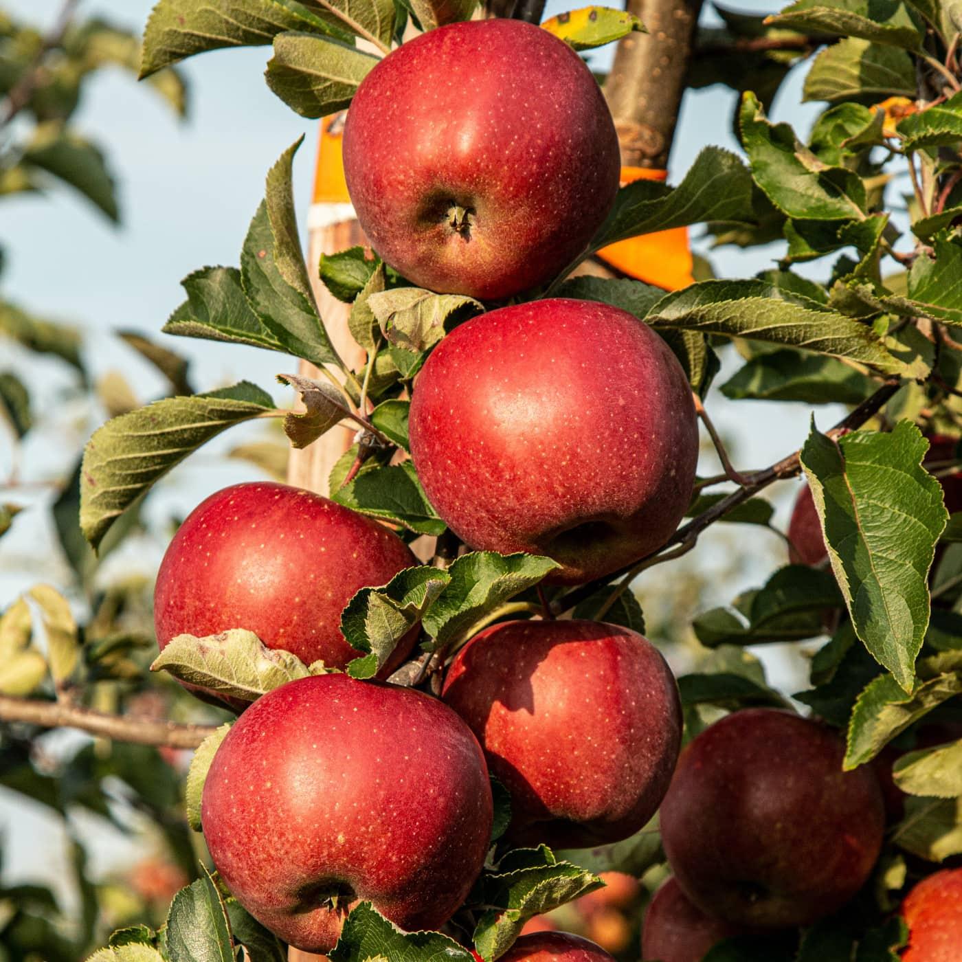 Apfel pflücken – Herbstausflüge // HIMBEER